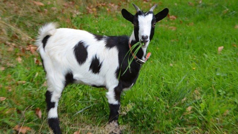 महिलाच नाही तर आता जनावरेही असुरक्षित; बकरीशी केले विकृत चाळे