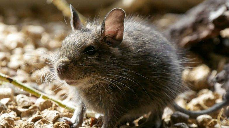 धक्कादायक : पोलीस स्टेशनमधून चक्क उंदरांनी फस्त केली एक हजार लीटर दारु