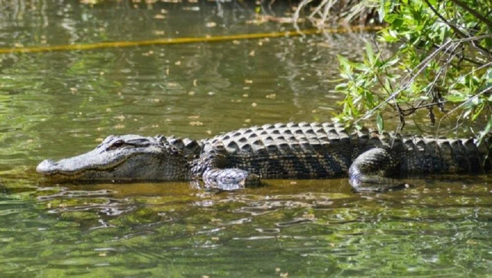 Crocodile Kills 8-Year-Old Girl in Uttarakhand: उत्तराखंड मधील हरिद्वार येथील तलावाच्या किनारी फुलं तोडण्यासाठी गेलेल्या मुलीवर मगरीचा हल्ला