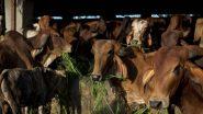 Cow Dung Therapy: काय सांगता? Covid-19 पासून दूर राहण्यासाठी शेणाने व गोमुत्राने अंघोळ; डॉक्टरांनी वर्तवला Mucormycosis संसर्गाचा धोका (Watch Video)