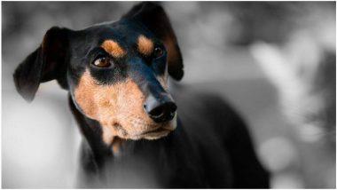 Coronavirus Sniffing Dogs: ऐकावे ते नवलच! 'या' देशात कुत्र्यांना दिले खास प्रशिक्षण, फक्त वासावरून ओळखणार कोरोना विषाणू संक्रमित रुग्ण; विमानतळावर तैनात