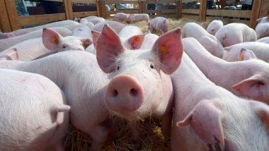 चीन येथे Swine Fever आकडा शंभरीवर, 8 लाख डुक्करांची सरकारकडून कत्तल