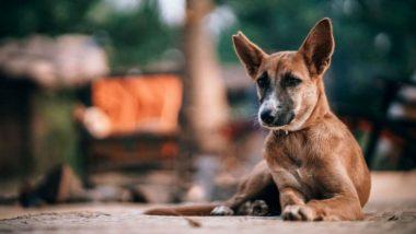कोरोना व्हायरस चा वास कुत्रे ओळखू शकत असल्याचा जर्मन अभ्यासकांचा दावा, वाचा सविस्तर
