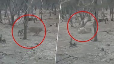 हिंमत असेल तर काहीही शक्य! गीरच्या जंगलात कुत्र्याने घेतला सिंहाशी पंगा, (Watch Video)