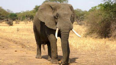 हत्तीचे चुंबन घेण्याचा प्रयत्न अंगलट; युवकाची थेट रवानगी रुग्णालयात