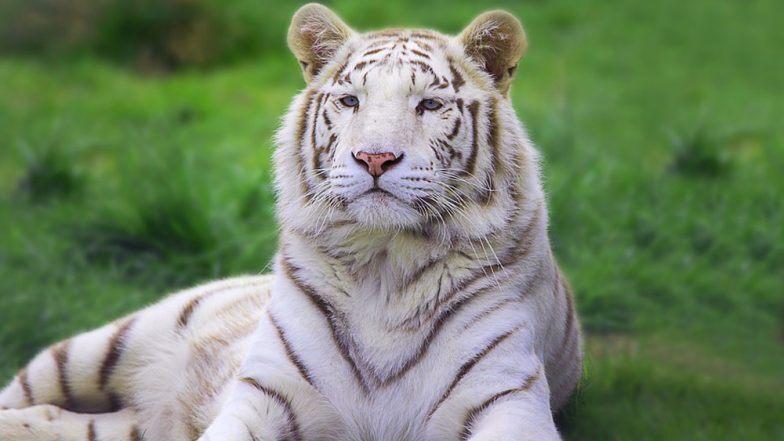 बोरिवली: संजय गांधी नॅशनल पार्कमधील 'बाजीराव' या सफेद वाघाचा मृत्यू