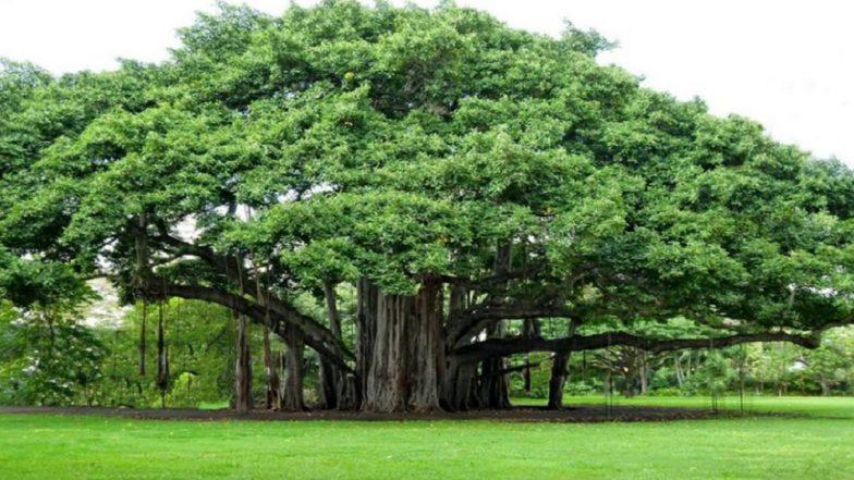 Vat Purnima 2019: वडाच्या झाडाचे आरोग्यदायी फायदे काय?