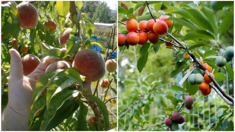 ऐकावं ते नवलच! एकाच झाडाला 40 प्रकारची फळं, किंमत फक्त 19 लाख रुपये