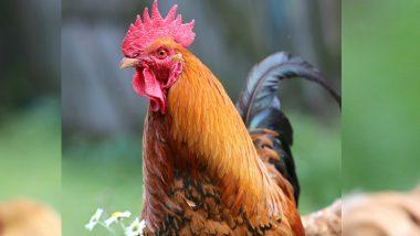 कोंबड्याची बांग ठरली राष्ट्रीय चर्चेचा मुद्दा, फ्रान्सच्या न्यायालयात कायद्याची लढाई; लोकांनी जोडला स्वाभिमानाशी संबंध