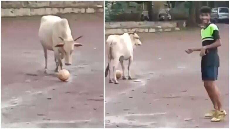 अन् गाय मुलांसोबत फुटबॉल खेळू लागली! (Viral Video)