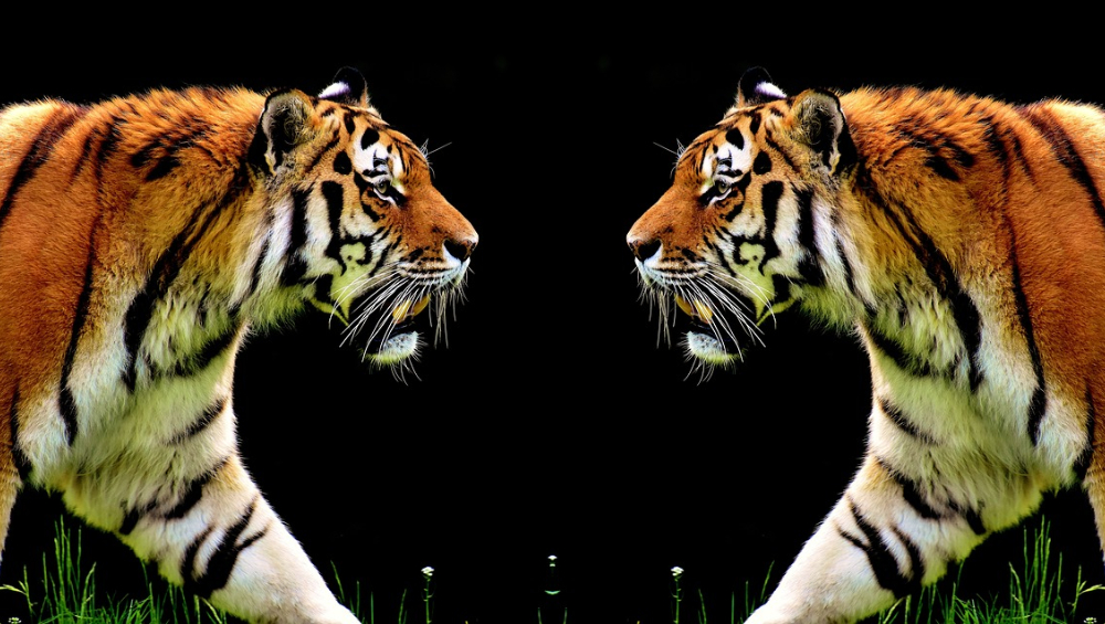 International Tiger Day 2019: का साजरा करतात वाघ दिन? जगापुढे भारताचा आदर्श; घ्या जाणून