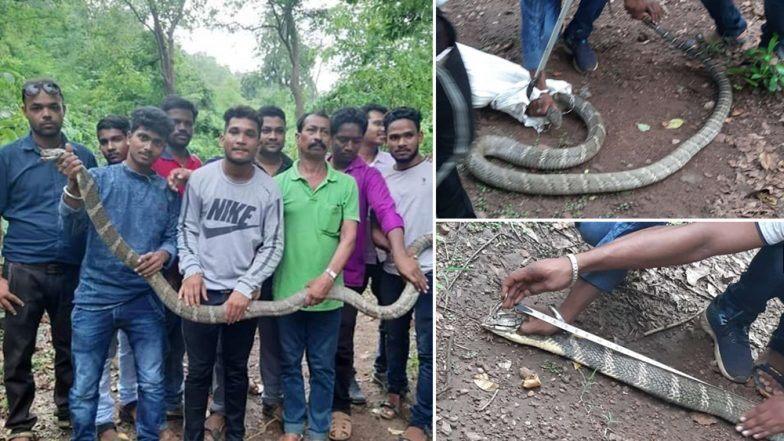 ओडिशा येथे सापडला 11 फूट लांब आणि 25 किलो वजनाचा विषारी साप; पहा फोटोज