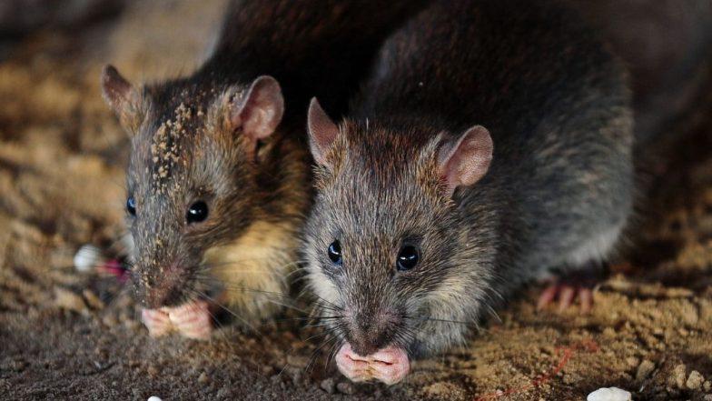 धनबाद: अतिदक्षता विभागात असलेल्या कॅन्सर रुग्णावर उंदरांचा हल्ला, हातपाय कुडतडले