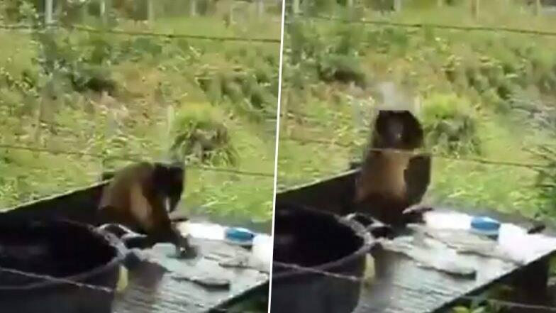 माकडाचा 'देसी स्टाइल' मधील कपडे धुण्याचा अंजाद नेटकऱ्यांना भावला, व्हिडिओ सोशल मीडियात व्हायरल (Watch Video)