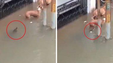 वडोदरा: मुसळधार पावसामुळे मगरींची लोकवस्तीत धाव, कुत्र्यावर केला हल्ला (Watch Video)