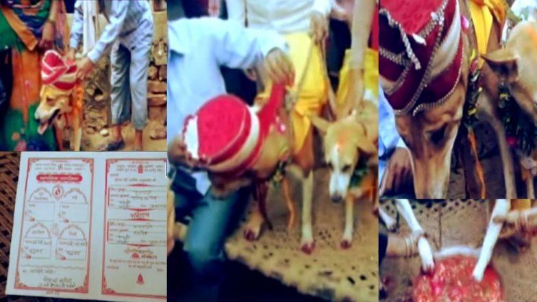 अंधश्रद्धेचा कळस: कुंडली दोष नाहीसे होण्यासाठी लावले कुत्रा-कुत्रीचे लग्न, 500 लोक, निमंत्रण पत्रिका, DJ, मेजवानी, वरात असा होता थाट