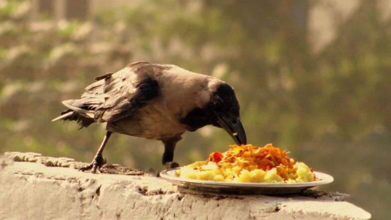 Pitru Paksha 2019: पितृ पंधरवड्यात श्राद्धाच्या दिवशी पिंडदानासाठी कावळ्याला का दिले जाते महत्व, जाणून घ्या कारण