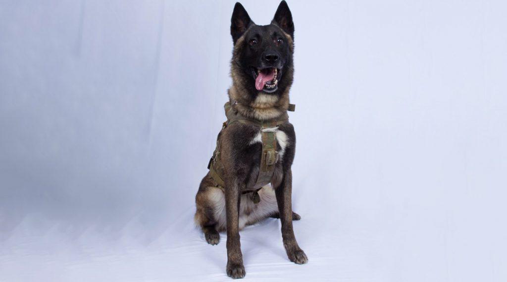 डोनाल्ड ट्रम्प यांनी अमेरिकी लष्कराच्या कुत्र्याचे केले कौतुक; ISIS म्होरक्या बगदादी याचा खात्मा केल्याबद्दल म्हणाले 'ग्रेट जॉब'