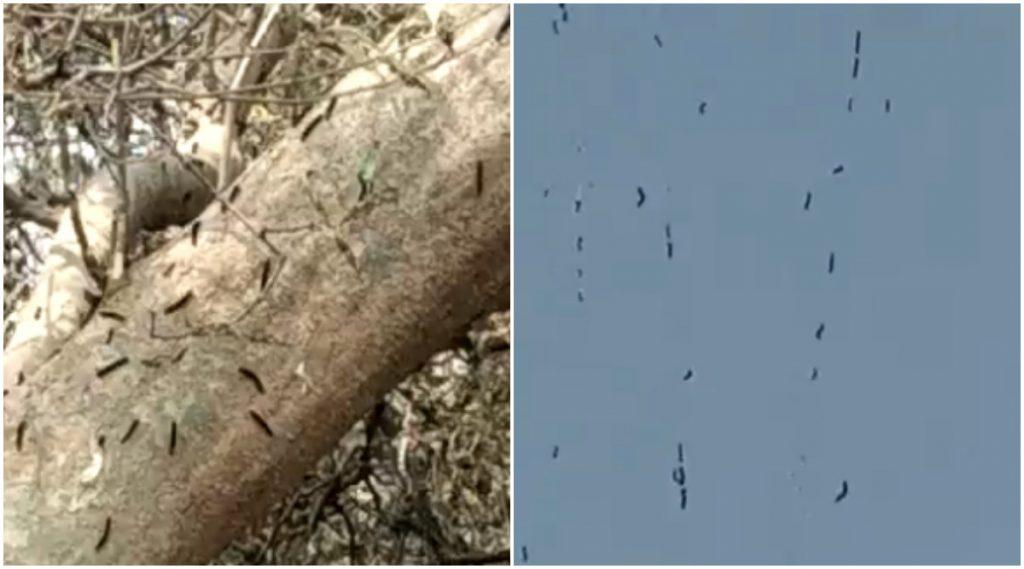 Watch Video: नवी मुंबईत किड्यांचा सुळसुळाट, शरीराला खाज येत असल्याच्या नागरिकांनी केल्या तक्रारी