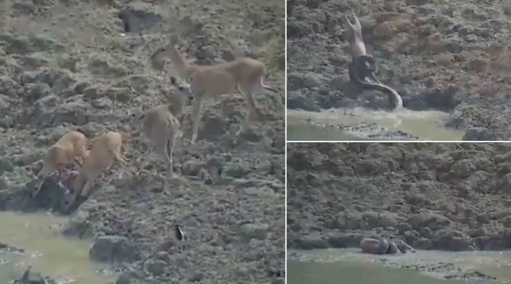 महाराष्ट्र: डबक्यातील पाणी पिण्यासाठी आलेल्या हरणावर अजगराचा हल्ला (Watch Video)
