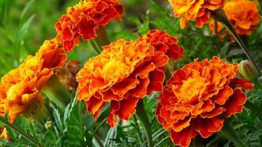 Health Tips: झेंडूच्या फुलाचे 'हे' आरोग्यदायी फायदे तुम्हाला माहित आहेत का?