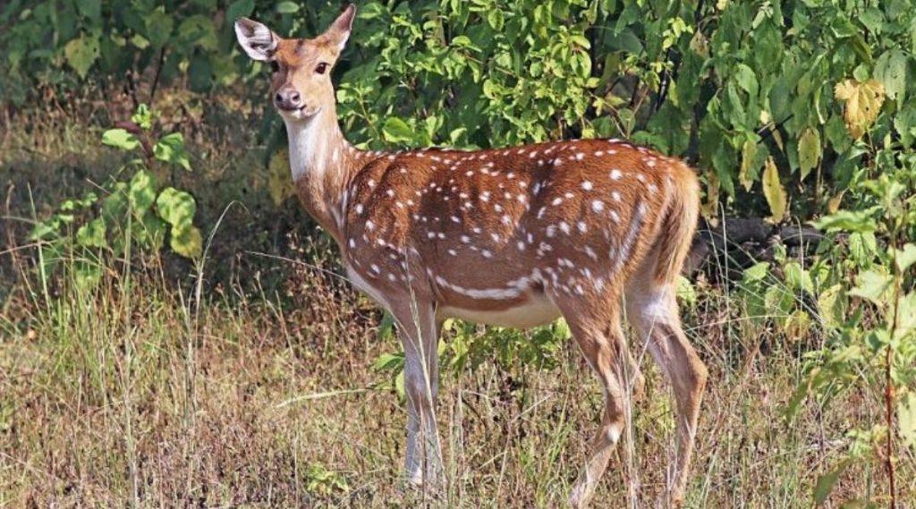 मुंबई: संजय गांधी नॅशनल पार्क मध्ये शिवसेना खासदार राजेंद्र गावित यांच्या कारच्या धडकेत हरणाचा मृत्यू; चालकाला अटक