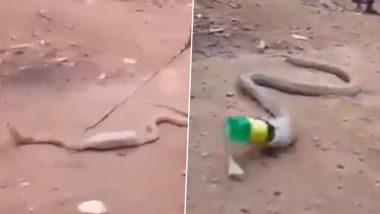 King Cobra नागाने गिळली प्लास्टिकची बाटली, काय झाली अवस्था? पाहा व्हिडिओ