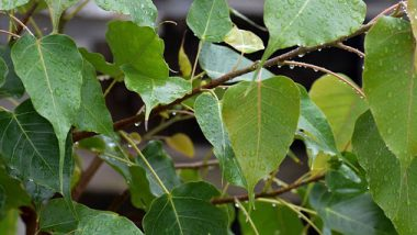 Health Benefits Peepal Leaves: पिंपळाची पानं 'या' आजारांवर ठरतील गुणकारी; जाणून घ्या आरोग्यदायी फायदे