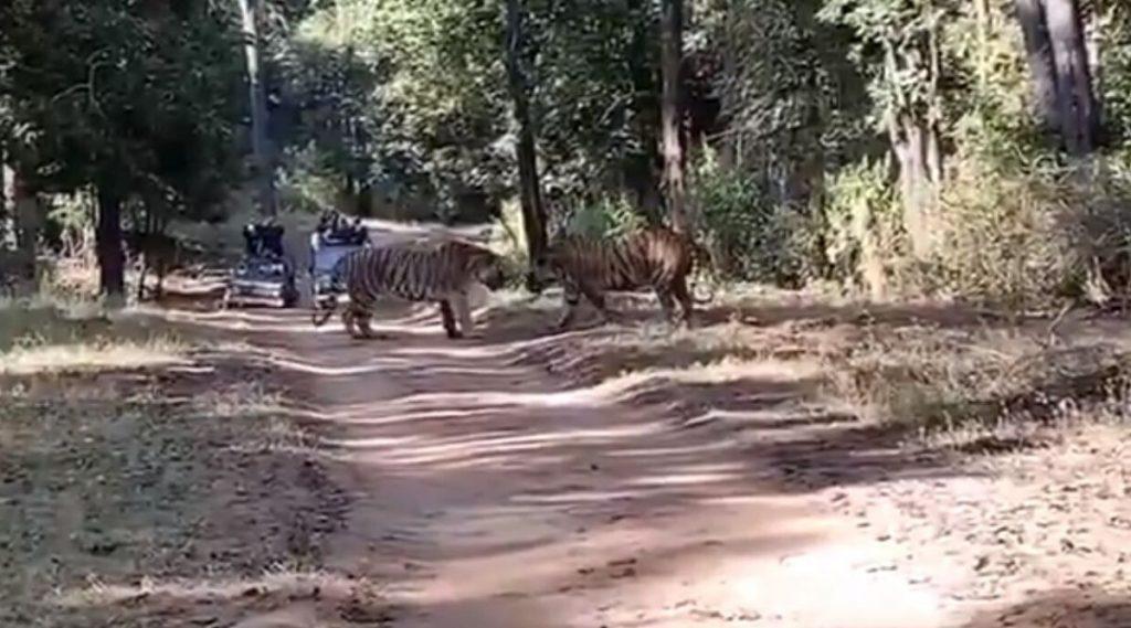 दोन वाघांच्या झुंजीचे थरारक दृश्य पाहून तुमच्या अंगावर काटा आल्याखेरीज राहणार नाही, Watch Video