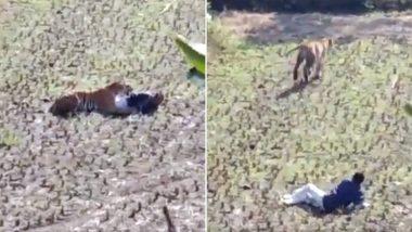 भंडारा: वाघाच्या तावडीतून सुटण्यासाठी तरुणाने घेतले मेल्याचे सोंग; पहा व्हायरल व्हिडिओ