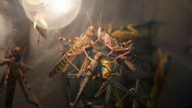 Locust Attack: टोळ कीटकांचा पाकिस्तानवर हल्ला; इम्रान खान सरकारने घोषित केली 'राष्ट्रीय आणीबाणी'