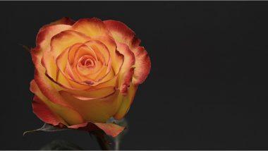 World Rose Day 2021: कॅन्सरशी सामना करणार्यांच्या आयुष्यात आशेचा किरण आणण्यासाठी नेटकर्यांनी आज 'वर्ल्ड रोज डे' दिवशी शेअर केली खास ग्रीटिंग्स!