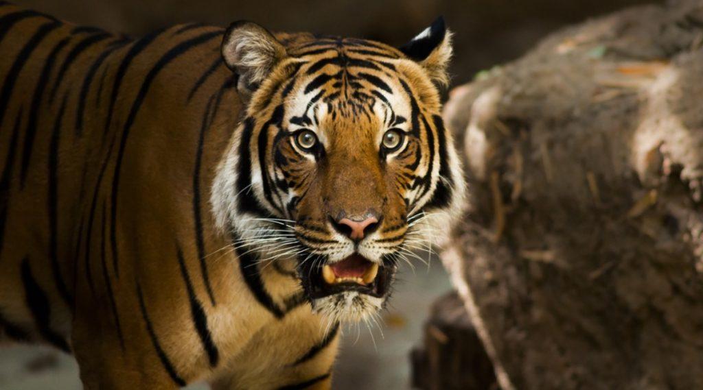 Tigress Captured In Yavatmal: यवतमाळ येथे 60 वर्षीय महिलेचा बळी घेणाऱ्या वाघिणीला जेरबंद करण्यात वनविभागाला यश