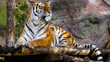अमेरिकेमध्ये Bronx Zoo मध्ये वाघिण COVID-19 पॉझिटिव्ह आढळल्यानंतर भारतात प्राणिसंग्रहालयांना हाय अलर्ट जारी;  प्राण्यांवर सीसीटीव्हीच्या माध्यमातून 24x7 ठेवली जाणार नजर