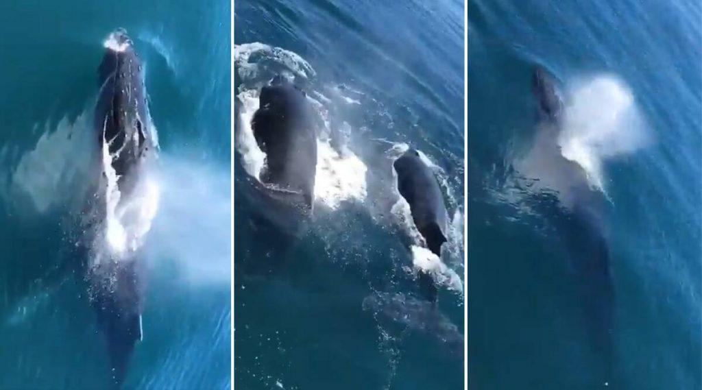 Bombay High येथील समुद्री भागात आढळले Whales! नेटिझन्सना भुरळ पाडणारा हा व्हिडिओ खरा आहे का? (Watch Video)