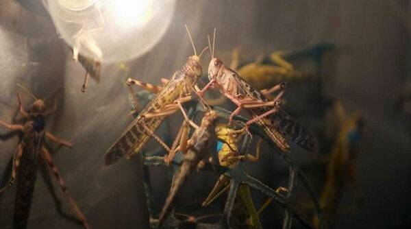 Locust Attack In Maharashtra: भंडारा पाठोपाठ टोळधाडीचा गोंदिया मध्ये शिरकाव; प्रशासनाने सतर्क राहण्याचा दिला इशारा