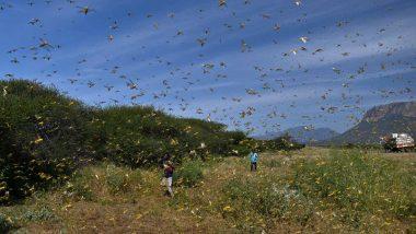 Locust Attack: अमरावती, नागपूर जिल्ह्यात टोळधाडीचे आक्रमण; कृषी विभागामार्फत ड्रोनच्या सहाय्याने कीटकनाशकांची फवारणी करण्यात येणार