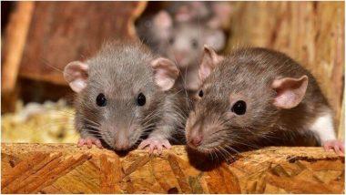 कोरोना व्हायरसनंतर आता उंदरांद्वारे मानवांमध्ये पसरतोय भयानक विषाणू; Hepatitis-E ला बळी पडत आहेत लोक