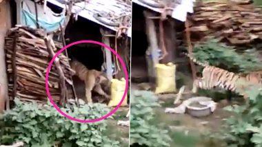 बापरे! भरदिवसा चक्क घरात घुसला वाघ; विश्वास न ठेवता येण्यासारखी घटना कॅमेऱ्यात कैद (Watch Viral Video)