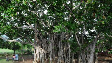 Vat Purnima 2020: वटपौर्णिमा सणानिमित्त जाणून घ्या वड वृक्षाचे आरोग्यदायी  फायदे