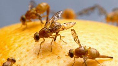 COVID19 Spreads Through Houseflies? माशांंमुळे पसरतो का कोरोना व्हायरस, WHO ने दिलं हे स्पष्टीकरण