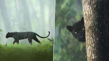 Shaaz Jung याने क्लिक केलेला  Black Panther चा जंगलातील सुंदर फोटो होतोय व्हायरल; नेटकरी म्हणतात हा तर बगिरा (See Photos)