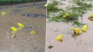 Yellow Frogs Mating Spotted: निसर्गाची किमया! वसई आणि बुलढाणा येथे पावसाने शेतात साचलेल्या डबक्यात आढळले पिवळे बेडूक (See Photos & Videos)