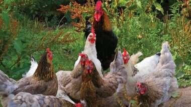 Coronavirus in China: ब्राझीलमधून आयात केलेल्या Frozen Chicken Wings मध्ये आढळला कोरोना विषाणू; चीनचा दावा