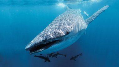 पालघर येथील समुद्र किनाऱ्यावर मृत अवस्थेत आढळला 7.3 मीटर लांबीचा व्हेल शार्क