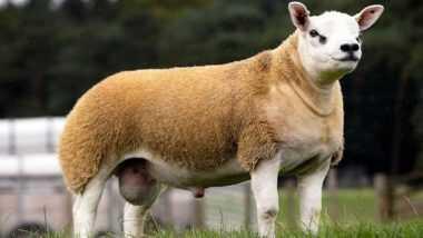 World's Most Expensive Sheep: तब्बल साडेतीन कोटींना विकली गेली जगातील सर्वात महागडी मेंढी Double Diamond; स्कॉटलंडच्या लिलावात तीन शेतकऱ्यांनी केली खरेदी (See Pictures & Videos)