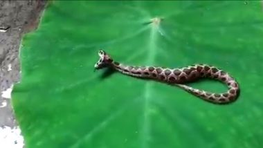 Two headed Russell's Viper Rescued In Maharashtra: कल्याण येथे आढळला घोणस प्रजातीचा दुतोंडी विषारी साप; पाहा संपूर्ण व्हिडिओ