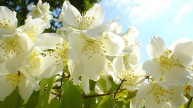 Jasmine Health Benefits: वर्षा ऋतुमध्ये बहरणाऱ्या 'चमेली' फुलाचे 'हे' आरोग्यदायी फायदे तुम्हाला माहिती आहेत का? जाणून घ्या