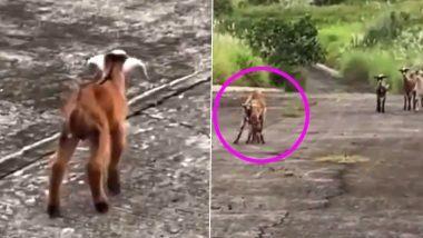 Baby Goat Meets Mother: रेस्क्यू झाल्यानंतर चिमुकली बकरी आईला अशी काही भेटली; पहा  व्हायरल होणारा हृद्यस्पर्शी व्हिडिओ (Watch Video)