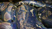 Python Swallows Nilgai Calf-Video: थरारक व्हिडिओ; अजगराने गिळले नील गाईचे वासरु